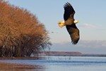 Mississippi River Bald Eagle