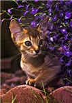 Cat violette
