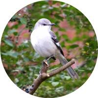 <b>MOCKINGBIRD IMAGES</b>