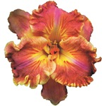 Coral Red Daylily