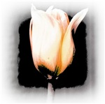 Tulip Flower Abstract
