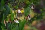 Old lady Mountain Slipper Orchids