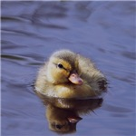 duckling, more versions