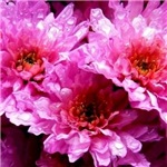 pink wet flowers