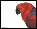 Ruby Sue the Eclectus Parrot