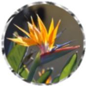 Bird of Paradise plant 0518