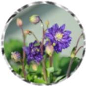 Purple Columbine 1821