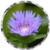 Purple Stokesia laevis Klaus Jelitto flower 5149