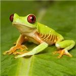 Red-eyed treefrog 1
