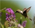 Hummingbird Posters