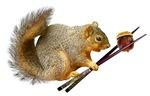 Squirrel with Chopsticks