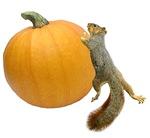 Squirrel Rolling Pumpkin
