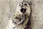 Cute harbor seal pup