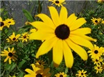 BLACK-EYED SUSAN™