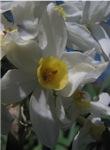 Daffodil in Shadow