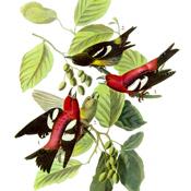 Audubon's White-winged Crossbill