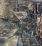 Song Sparrow Reflections II