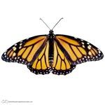 Big Butterflies!