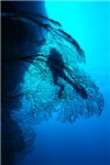 Sea Fan Silhouette