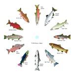 North American Salmonids Clocks 1