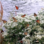 Monarch Butterflies on Babies Breath Rest Stop