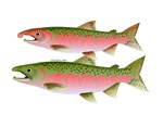 Pacific Coho Salmon fish couple