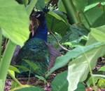 Hidden Peacock