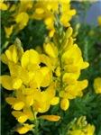 Yellow Brush Flowers