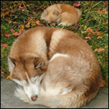 Siberian Husky & Pomeranian