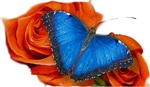 Blue Butterfly Red Rose