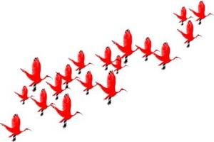 Scarlet Ibis Flock
