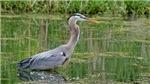 Great Blue Heron# 5