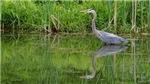 Great Blue Heron# 6
