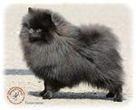 Pomeranian 9R042D-40