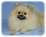 Pomeranian 9W042D-113