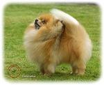 Pomeranian 9T072D-014