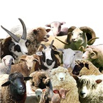 Heritage Sheep