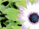 Purple Tipped Daisy, Bright