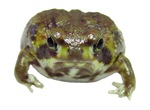 Breviceps adspersus (pic)