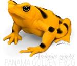 Atelopus zeteki | Panamanian Golden Frog