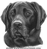Diesel, Black Labrador Retriever