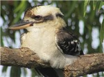 Kookaburra sits on the Gum Tree