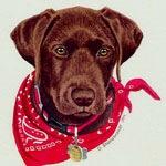 Tucker, Chocolate Labrador Puppy