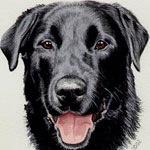 Morgan, Black Labrador Retriever