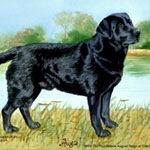 Augie, Black Labrador