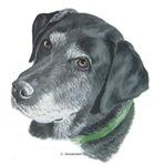 Senior Black Labrador