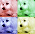 American Eskimo Dog Pop Art