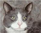 Gray and White Tuxedo Cat