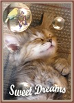 Ragamuffin Kitten Dreams