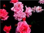 Roseconstellation